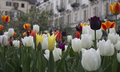 La fioritura di Messer Tulipano sui canali social